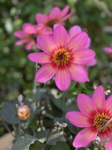 Blütenkunst Dahlie Rockin Rosie bayrische Blume 2020