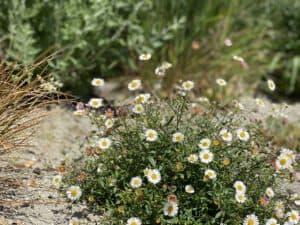 Beetplanung mit Pflanzen spanisches Gänseblümchen für StaudenBeet