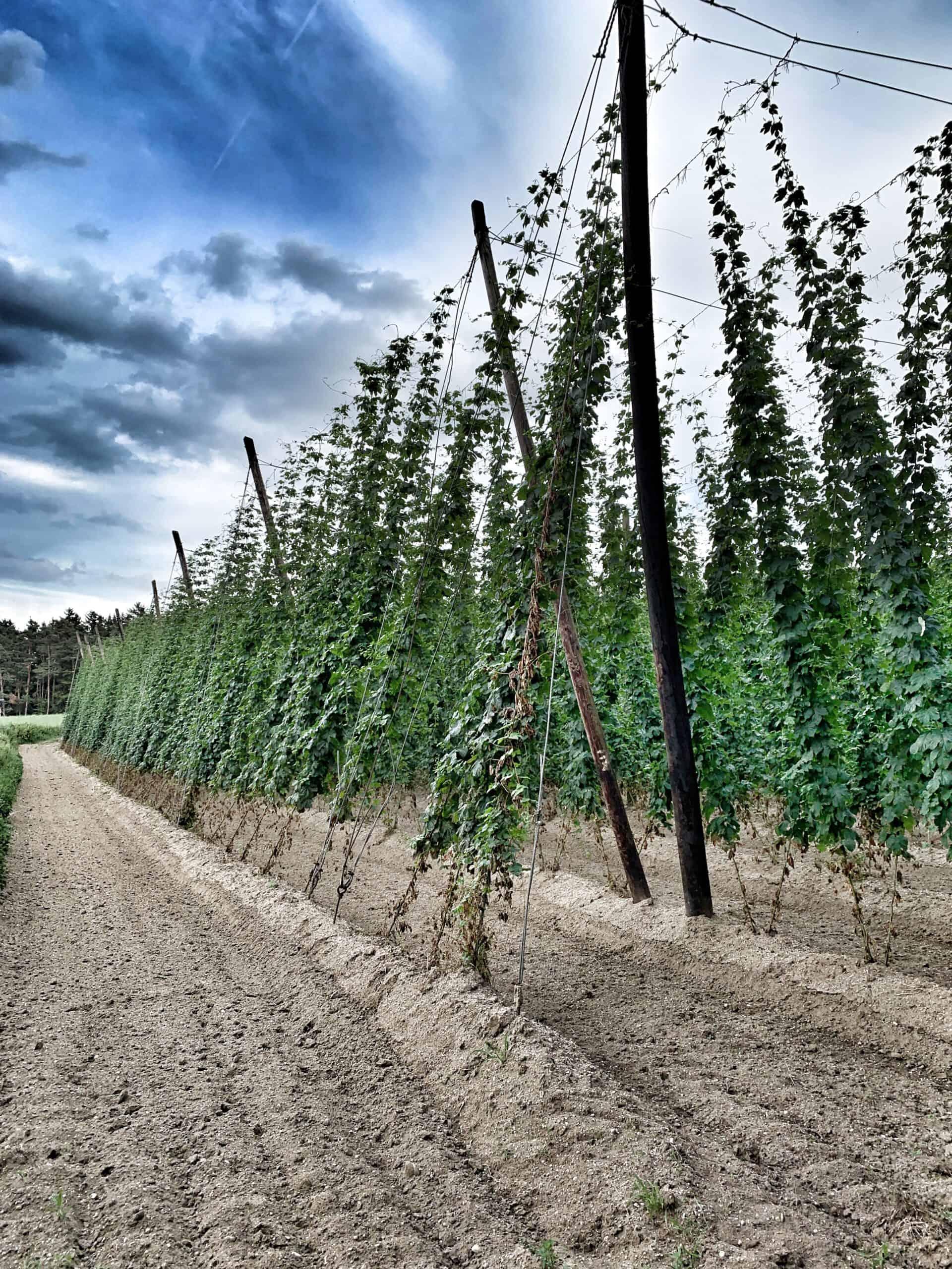 Hopfen Garten in Hallertau - aus dem Hopfen kann ein frischer Hopfenkranz gebunden werden