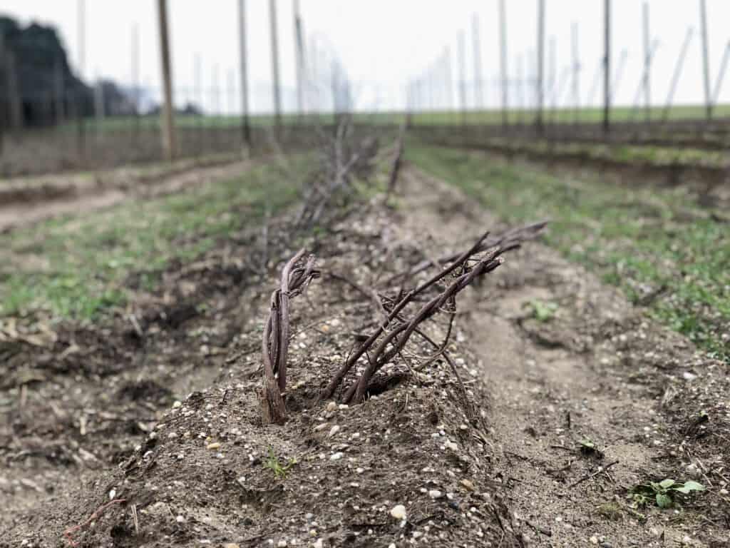Hopfen Pflanze im Winter bei Pörnbach - aus diesem Stock entstehen bis Ende August neue Hopfenreben für frischen Hopfenkranz aus der Hallertau