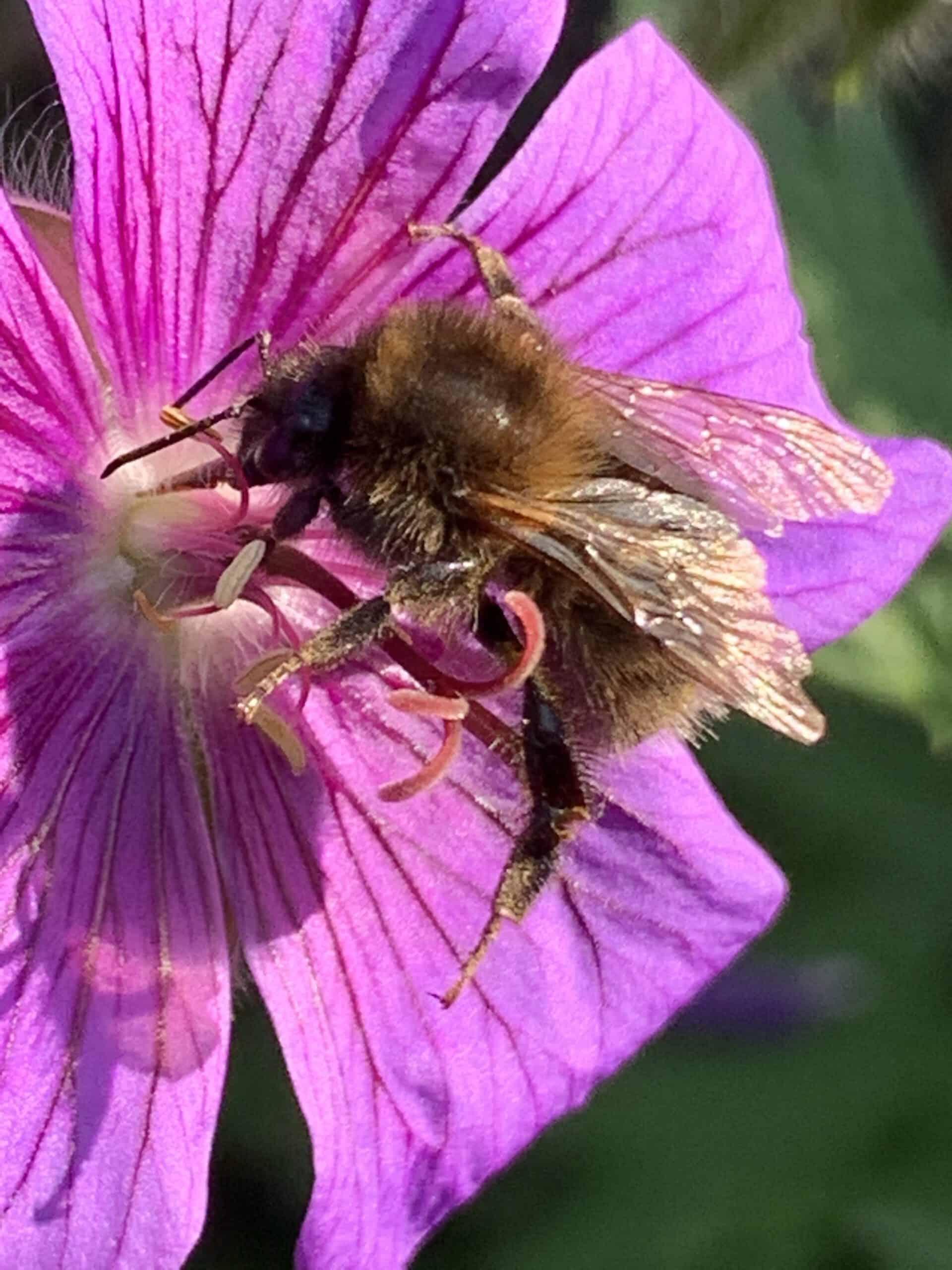Hummel trinkt Nektar auf einer Storchenschnabel Blüte - Storchenschnabel ist eine bienenfreundliche Staude